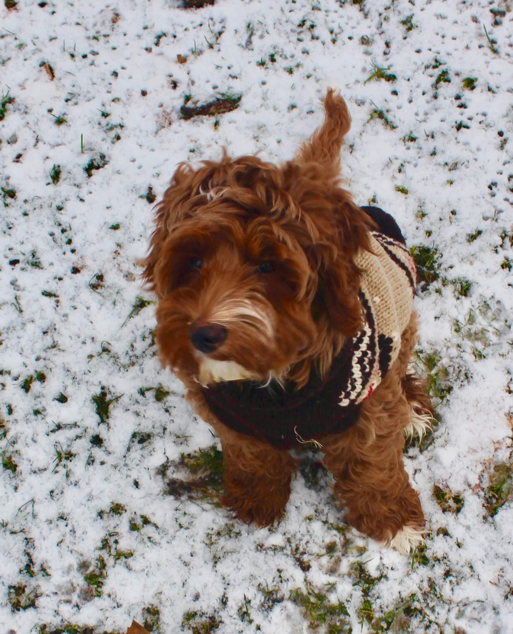 de bästa småhundarna för barn: blandras i snö