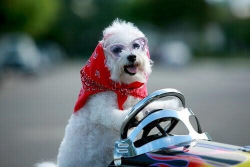 småhund med sjal och glasögon i leksaksbil