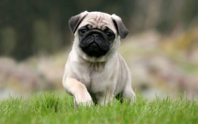 bästa husdjuren för barn: mops i gröngräset